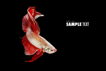 freshwater fish: Red betta fish, siamese fighting fish beauty and freedom isolated on black background Stock Photo