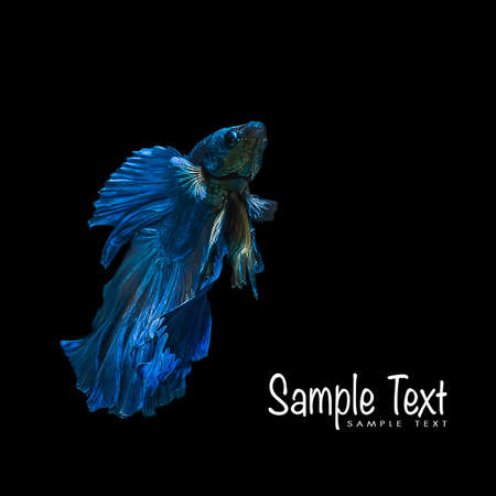 freshwater fish: Blue betta fish, siamese fighting fish beauty and freedom isolated on black background Stock Photo