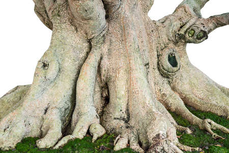 The roots of bonsai and green moss.