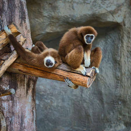 Two white handed Gibbon. Stock Photo