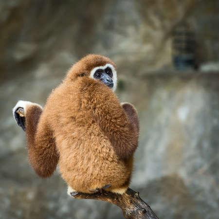 Lar gibbon looking something.