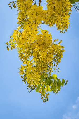 Cassia fistula flower on sky background. Stock Photo