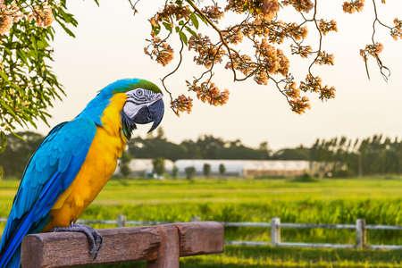 periquito: Guacamayo azul y amarillo en la naturaleza.