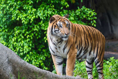 Tiger looking something with interest. Stock Photo