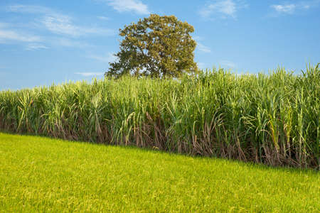 Sugarcane field next to rice field in cloudy sky