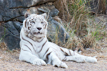 White Bengal Tiger relaxing on a stone wall backdrop.