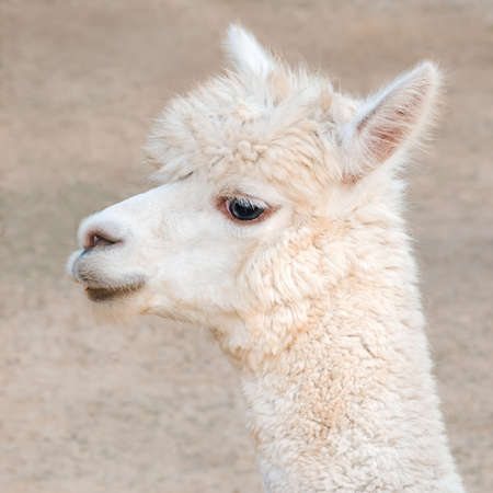 Close-up alpaca portrait 版權商用圖片
