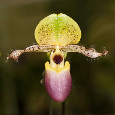 Lady Slipper Orchid Paphiopedilum Close Up