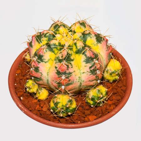 Gymnocalycium Cactus  isolated on white background Stock Photo