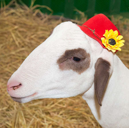 Lamb and red hat with yellow flowers. Stock Photo