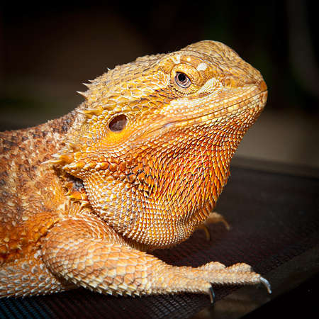 Close-up face of Bearded Dragon