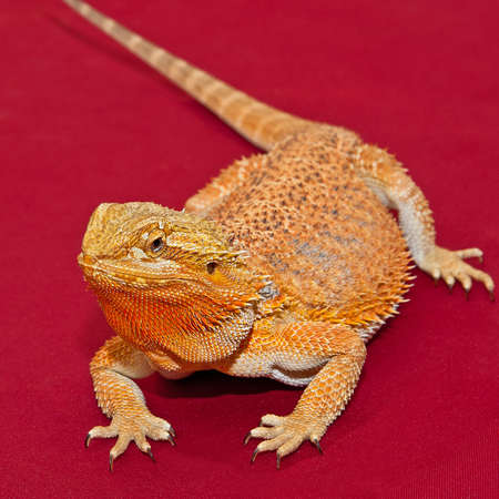 Bearded Dragonon red background.