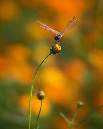 Dragonfly catch on flower bud Stock Photo