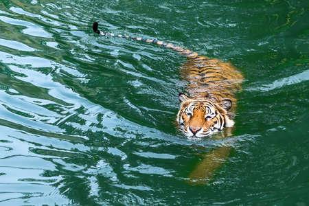 Grote Bengaalse tijger zwemmen in de vijver.