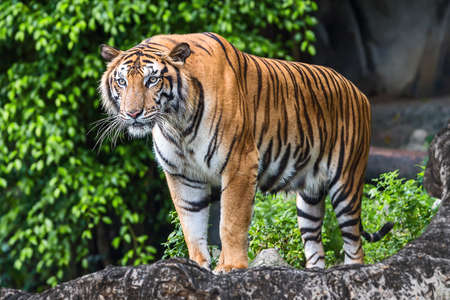 Bengal Tiger in the forest is showing head. Stock Photo