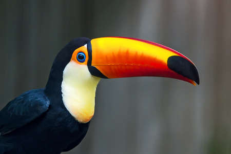 Wreathed Hornbill with beautiful colors.