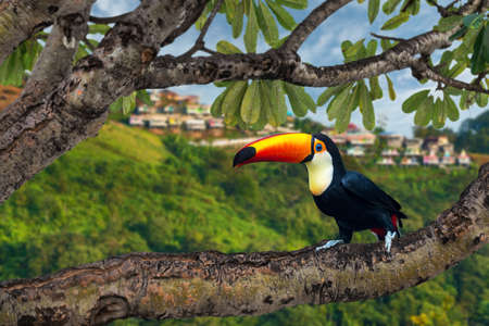 Wreathed Hornbill Island on a branch in the jungle as a backdrop to the resort in the mountains.