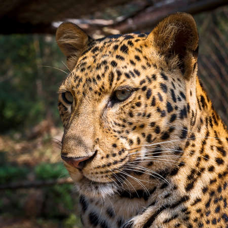 close up face of leopard. Stock Photo