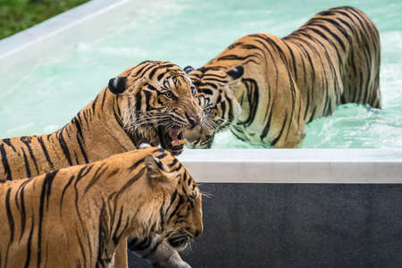 Three tigers swim in the pool.