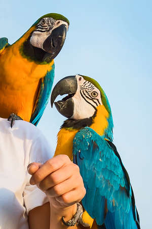 Macore perched on the shoulders and arms of their owners. Stock Photo