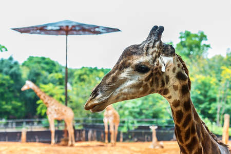 Portrait of Giraffe (Giraffa camelopardalis) Stock Photo
