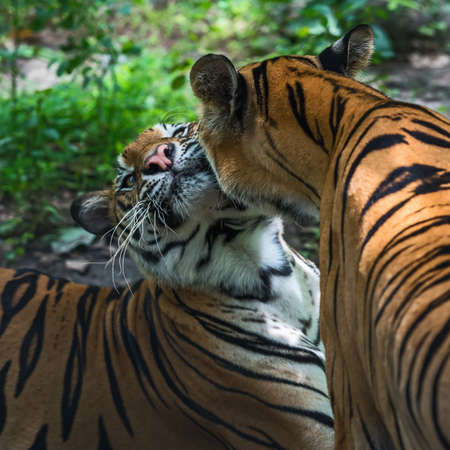 Two tigers play happily. Stock Photo