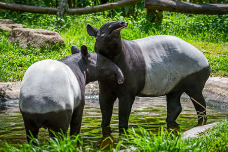 Two malayan tapir (tapirus indicus) Thailand. Stock Photo