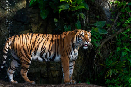 Portrait of standing adult tiger outdoors. (Panthera tigris corbetti) in the natural habitat, wild dangerous animal in the natural habitat, in Thailand.