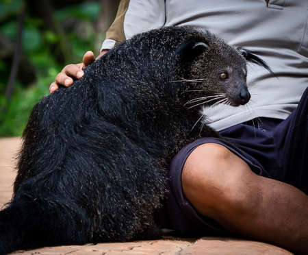 Binturong or bearcat (Arctictis binturong). The binturong is widespread in south and southeast Asia occurring in Bangladesh, Bhutan, Myanmar, China india and indonesia Stock Photo