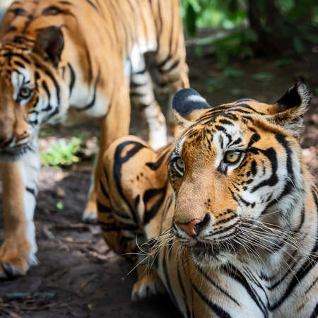Two Indochinese tiger outdoors. (Panthera tigris corbetti) in the natural habitat, wild dangerous animal in the natural habitat, in Thailand.