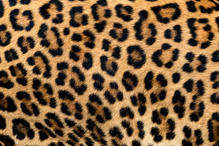 Leopard fur texture (real fur) Stock Photo