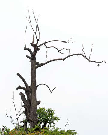 A dead tree, with spindly branches, old and weather worn. Stock fotó