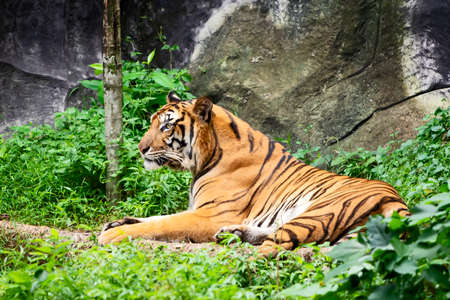 Portrait of standing adult Indochinese tiger outdoors. (Panthera tigris corbetti) in the natural habitat, wild dangerous animal in the natural habitat, in Thailand. Stock Photo