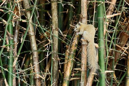 Tupaia glis in bamboo clumps.