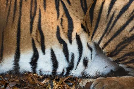 Strepen op de huid van een Bengaalse tijger (echt bont)