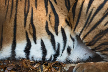 Strisce sulla pelle di una tigre del Bengala (vera pelliccia)