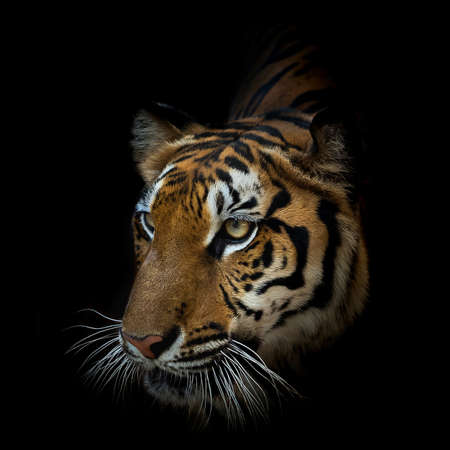 Bliska twarz tygrysa na białym na czarnym tle. (Panthera tigris corbetti) w naturalnym środowisku, dzikie niebezpieczne zwierzę w naturalnym środowisku, w Tajlandii.