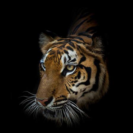 Nahaufnahme Gesicht Tiger auf schwarzem Hintergrund isoliert. (Panthera tigris corbetti) im natürlichen Lebensraum, wildes gefährliches Tier im natürlichen Lebensraum, in Thailand.