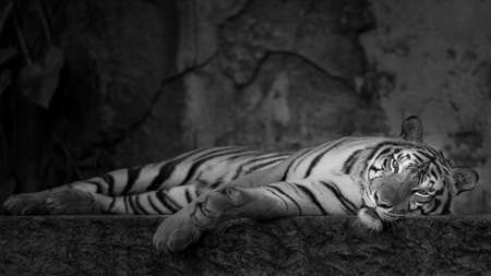 White Tiger relaxing bedtime. (Panthera tigris corbetti) in the natural habitat, wild dangerous animal in the natural habitat, in Thailand.