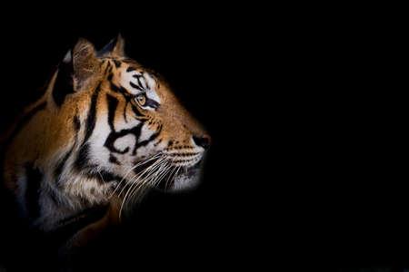 Portret van staande volwassen Indochinese tijger buitenshuis. (Panthera tigris corbetti) in de natuurlijke habitat, wild gevaarlijk dier in de natuurlijke habitat, in Thailand. Stockfoto