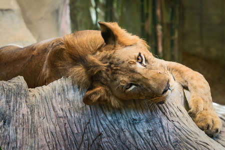 Lions relaxing in the zoo during the day. Reklamní fotografie
