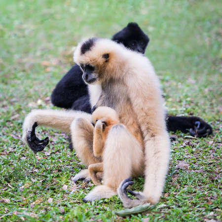 white cheeked gibbon or Lar gibbon with family having a baby is breastfed. 版權商用圖片