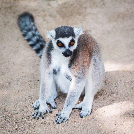 Ring-tailed lemur (Lemur catta) breastfeeding in a zoo.
