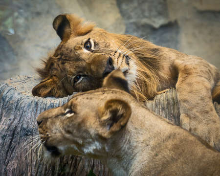 Two lions relaxing in the zoo during the day.