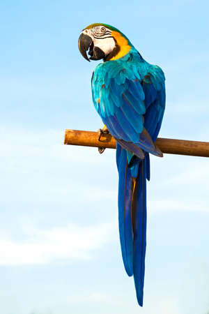 Colorful blue parrot macaw with a backdrop of the sky.