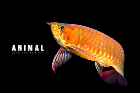 Arowana Stock Photos And Images 123rf