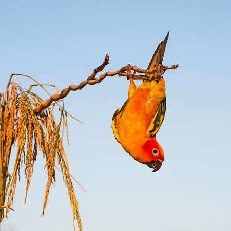 Sun Conure hanging head