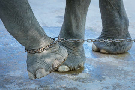 Elephant chained end of freedom.