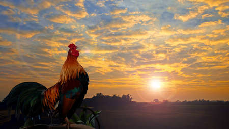 Rooster crowing in the morning with sunrise.