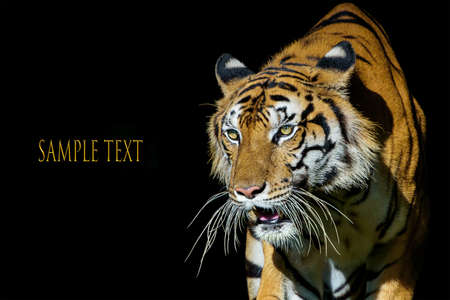 The tiger stands to look at something with interest isolate on a black background. (Panthera tigris corbetti) in the natural habitat, wild dangerous animal in the natural habitat, in Thailand.